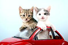 Viagem de Carro com Seu Gato