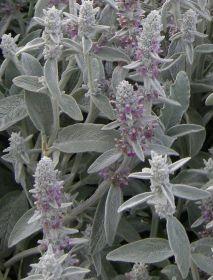 Čistec Čistec je trvalka vhodná na obruby. Potřebuje slunce a nepříliš vlhkou půdu. Listy jsou měkké, plstnaté v šedé barvě. Čistec dorůstá do výšky 25 až 60 cm. Kvete od června do srpna růžovými nebo bílými květy.