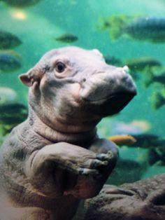 BABY HIPPO OMG Cute Hippo, Cute Baby Animals, Angry Animals, Animals And Pets, Cute Animal Pictures, Spirit Animal, Animal Photography, Fur Babies, Baby Hippopotamus