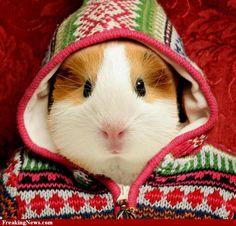 cute guinea pigs | Cute Guinea Pig pictures