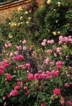Mottisfont Abbey Rose Garden, Hampshire, England | An outstanding romantic rose garden (16 of 20) | Pink cottage roses with yellow climbing roses in background by ukgardenphotos, via Flickr