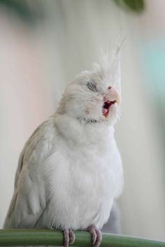 beautiful white parrot cute animals yawning photos