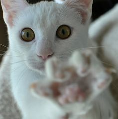 this white cat wants you.
