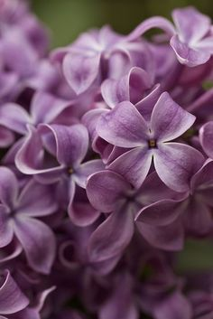 Syringa vulgaris (lilac or common lilac) is a species of flowering plant in the olive family Oleaceae, native to the Balkan Peninsula, where it grows on rocky hills.