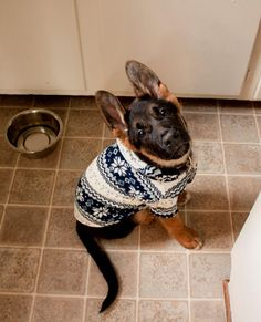 german shepherd puppy in a sweater