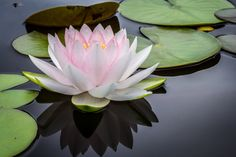 The lotus is a symbol of purity, and it blooms profusely in Buddhist art and literature. Its roots are in muddy water, but the lotus flower rises above the mud to bloom clean and fragrant. posted by Sifu Derek Frearson Rule Of Thirds Photography, Focus Photography, Flower Photography, White Lotus Flower, Lotus Flowers, Pink Lotus, Exotic Flowers, Yoga Nidra, Garden Nursery