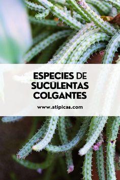 Especies de suculentas colgantes que debes tener en tu colección. Suculentas y cactus colgantes. Cactus Y Suculentas, Ideas, Hanging Succulents, Succulent Plants, Christmas Cactus, Hanging Flower Pots, Thoughts