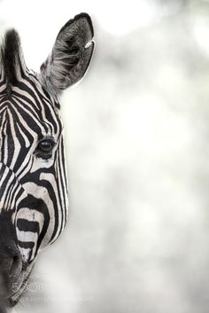 Peeping Zebra - Pinned by Mak Khalaf A Abstract type shot of a Zebra that I tried a few weeks ago. Animals natureabstractblack and whiteanimaleyefacehorseafricawildlifestripesoutdoorszebrawildscratchsafarisouth africamammalscareye contacteye levelburchells zebra by Rudi_Hulshof