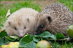 google images hedgehogs - Recherche Google