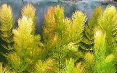 Plantas acuáticas: Ceratophyllum demersum