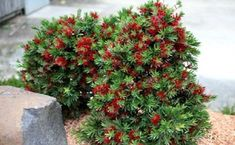 Plant under viburnum hedge - Callistemon- Little John dwarf Bottlebrush Front Yard Plants, Backyard Plants, Front Yard Landscaping, Garden Plants, Landscaping Ideas, Australian Native Garden, Australian Native Flowers, Australian Plants, Garden Trees