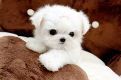 Teacup maltese! I want this!!! :D