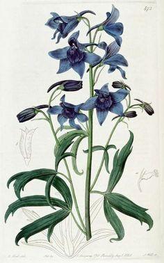 Illustration of Delphinium cheilanthum (Doroninsk Larkspur) The Botanical Register (1820). M.Hart.  The Botanical Register Botanicus Digital Library.  Image and text Wikimedia.