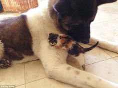 A South Florida woman named Lorrie was taking her big akita for a walk when she heard something strange. They were in a park, so she took her 10 year-old ex-guard dog to investigate. Lily the dog went into the bushes and came back out with an itty bitty surprise. She had a tiny 2 week-old kitten in her mouth, and deposited it at her owner's feet.  She was so young, a shelter couldn't accept her. That's when Lorrie decided to raise her a bit herself… and things got adorable.