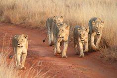 Glorious Safaris Mombasa, Game Reserve, Lions, Trip Advisor, Safari, Places To Visit, Lion Sculpture, Africa, The Incredibles