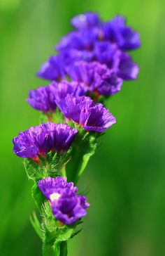 ~~Tiny Purple Flower~~ Statice- aka Sea Lavender