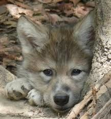 timber wolf pup is so adorable Wolf Spirit, Spirit Animal, Wolf Pictures, Animal Pictures, Wolf Photos, Cute Baby Animals, Animals And Pets, Strange Animals, Beautiful Creatures