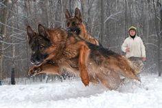 German shepherds in winter, Photo by Igor Perfilyev