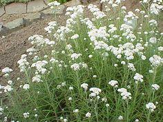 Anaphalis White Cottage, Herbs, Plants, Garden, Cottage Garden, Border Plants, Herb Garden, Shrubs, Wind