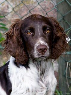German Spaniel (Deutscher Wachtelhund) Hunting Dogs Can easily be confused with the German Longhaired Pointer German Spaniels are smaller. Perro Cocker Spaniel, Springer Spaniel, Spaniel Breeds, Dog Breeds, Golden Retrievers, I Love Dogs, Cute Dogs, Animals And Pets, Baby Animals