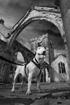 Spud at Heptonstall church by Spud the Bull Terrier, via Flickr