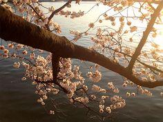 Cherry BlossomsDC22_MQ2013