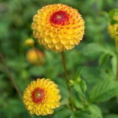 Dahlie 'Sunny Boy' - Blüten von der Größe eines Tennisballs geben sich bei dieser Dahlie alle Mühe, genau so sonnig zu leuchten wie die Sonne selbst. Eine perfekte Dahlie die sommerlichen Charme in Ihren Garten bringt. Die Knollenwerden im Frühling gepflanzt - online erhältlich bei www.fluwel.de