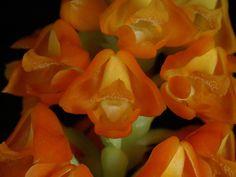 Polystachya aff. clareae