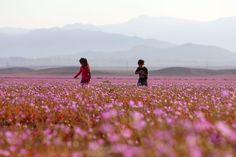 El Niño causes thousands of flowers to bloom in Chile's Atacama Desert El Nino makes flowers bloom in the Atacama Desert – Inhabitat - Sustainable Design Innovation, Eco Architecture, Green Building Desert Sahara, Dry Desert, Image Desert, Champs, Chili, Deserts Of The World, Eco Architecture, World Geography, Flower Of Life