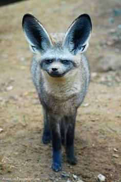 Bat-eared fox  Child of the bat and fox by *Allerlei.
