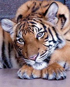 ~~Malayan Tiger Cub by Ron Parish~~ Beautiful Pretty Cats, Beautiful Cats, Animals Beautiful, Big Cats, Cool Cats, Cats And Kittens, Siamese Cats, Tiger Pictures, Animal Pictures