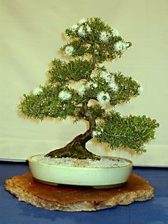 Australian Native Bonsai - Western Australia