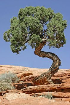 juniper tree - Google Search