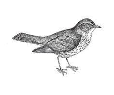 Wood thrush bird drawing