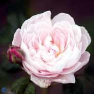 Queen of Sweden. Rosa. Engelsk rose. Leveres barrodet. - planteskoler.dk