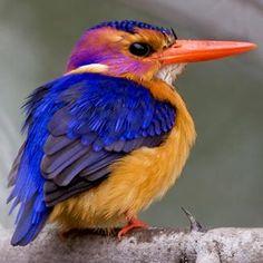 African Pygmy Kingfisher. Interesting little guy, isn't he?
