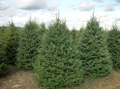Balsam fir seedlings