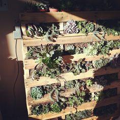 Pallet of succulents