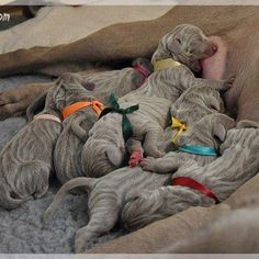 Baby weimaraners are striped when they are born. The stripes, however, last about a week...!