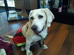 Peaches is an adoptable Beagle Dog in Somerset, NJ. Peaches is a sweet and social dog. She is easy to leash and walk. Our adoption fee is $60 per pet with additional discounts available for adopting ...