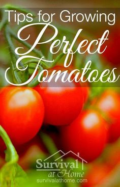 Tips for Growing Perfect Tomatoes » If you're a gardener, chances are you grow tomatoes. If you want to have the best tomatoes on the block, be sure to follow these easy tips for growing tomatoes that are perfect every time! » #tomatoes #gardening #tips