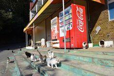 Règle de chats Ces îles japonaises