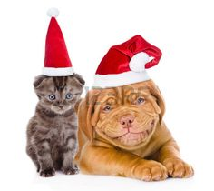 noel chien: Happy puppy and tiny kitten in red santa hats lying together. isolated on white background.