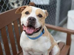 SAFE 7-21-2015 by Bobbi and the Strays --- Brooklyn Center MACY – A1042805  FEMALE, TAN / WHITE, PIT BULL MIX, 5 yrs STRAY – STRAY WAIT, NO HOLD Reason STRAY Intake condition EXAM REQ Intake Date 07/05/2015