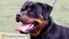 El perro Rottweiler