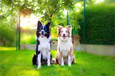 by jollyvicky on DeviantArt Border Collie Colors, Border Collie Pictures, I Love Dogs, Puppy Love, Dogs Of The World, Dog Quotes, Beautiful Boys, Best Dogs, Boston Terrier