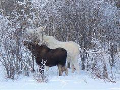Albino Moose ~ Abnormal Outdoors