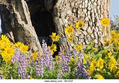 Find the perfect sunflower pics stock photo. Huge collection, amazing choice, million high quality, affordable RF and RM images. Sunflower Pictures, Oregon Usa, Columbia River Gorge, Wildflowers, Stock Photos, Amazing, Plants, Photography, Image