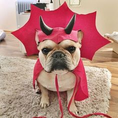 """...but I'm a Sweet Girl, why this costume?"", French Bulldog would rather be an Angel than a Devil. - Tap the pin for the most adorable pawtastic fur baby apparel! You'll love the dog clothes and cat clothes! <3"