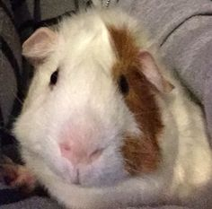 Cute little guinea pig ❤️ this is what my Marty is going to look like when he's big